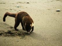 Wit-besnuffelde coati - Costa Rica Stock Afbeeldingen