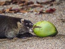 Wit-besnuffelde coati met een kokosnoot Drake Bay Views rond Costa Rica Royalty-vrije Stock Fotografie