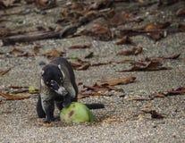 Wit-besnuffelde coati met een kokosnoot Drake Bay Views rond Costa Rica Stock Afbeelding