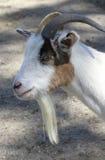 Wit Billy Goat met Baard Royalty-vrije Stock Afbeeldingen