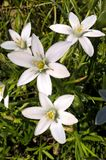 Wit blauw-Eyed Gras Stock Foto