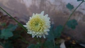Wit-bloem Royalty-vrije Stock Foto