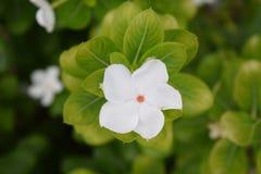 Wit; bloem; flora; bloesem; bloei Royalty-vrije Stock Foto's