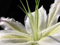 Wit bloemblaadje royalty-vrije stock fotografie