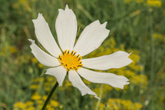 Wit bloemmadeliefje met een stam op een groene achtergrond royalty-vrije stock foto