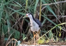 Wit-Breasted kippen, insektivoor waterbirds, zwart-wit, zetten vijvers onder water, wit-Breasted kippen, Royalty-vrije Stock Afbeelding