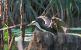Wit-Breasted kippen, insektivoor waterbirds, zwart-wit, zetten vijvers onder water, wit-Breasted kippen, Stock Foto's