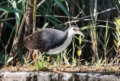 Wit-Breasted kippen, insektivoor waterbirds, zwart-wit, zetten vijvers onder water, wit-Breasted kippen, Stock Fotografie