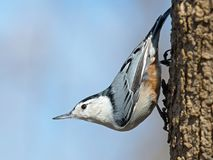 Wit-Breasted Nuthatch Royalty-vrije Stock Fotografie