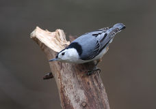 Wit-Breasted Nuthatch Royalty-vrije Stock Afbeeldingen