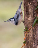 Wit-Breasted Nuthatch Stock Foto's