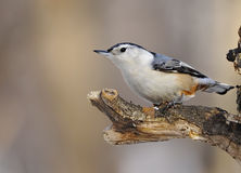 Wit-Breasted Nuthatch Stock Afbeeldingen