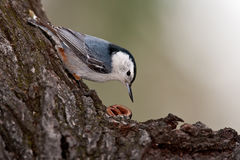 Wit-Breasted Nuthatch (carolinensis Sitta) Royalty-vrije Stock Afbeelding
