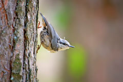 Wit-Breasted Nuthatch op een Boomboomstam Stock Foto
