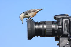 Wit-Breasted Nuthatch op een Camera Stock Afbeelding