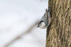 Wit-Breasted nuthatch vogel op de boomstam van een boom verticaal wordt neergestreken die Stock Foto's