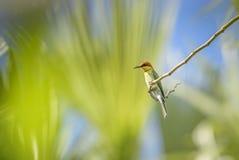 Wit-Breasted Waterhen - Amaurornis phoenicurusChestnut-geleide bij-Eter - Merops-leschenaulti royalty-vrije stock foto