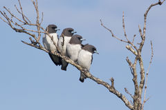 Wit-Breasted woodswallows (Artemus-leucorynchus) Royalty-vrije Stock Afbeeldingen