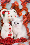 Wit Brits katje Stock Foto