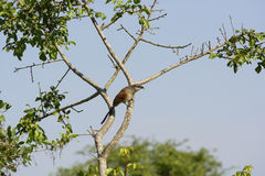 Wit-Browed Coucal in Afrika Royalty-vrije Stock Afbeeldingen