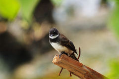 Wit-browed fantail-1 Stock Foto