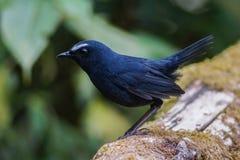 Wit-browed korte vleugel mannelijke vogel stock afbeelding