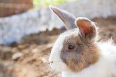 Wit-bruin konijn Royalty-vrije Stock Fotografie