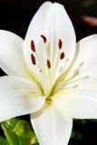 Wit candidum hoofd van bloei Lilium Stock Foto's