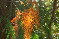 Wit Cedar Pine royalty-vrije stock foto