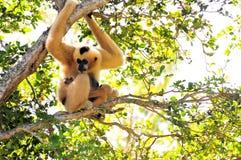 Wit-Cheeked Gibbon-aap en haar jongelui Stock Afbeeldingen