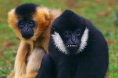 Wit-Cheeked Gibbonnen Royalty-vrije Stock Afbeeldingen