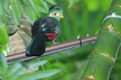 Wit-Cheeked Turaco Royalty-vrije Stock Fotografie