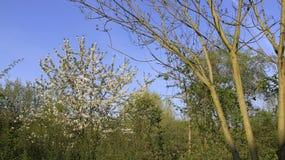 Wit Cherry Blooming In Springtime royalty-vrije stock foto's