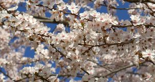 Wit Cherry Plum Tree Flowers In Spring stock video