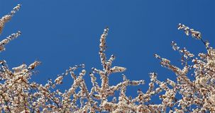 Wit Cherry Plum Tree Flowers In Spring stock footage