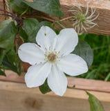Wit clematissenlot Royalty-vrije Stock Afbeeldingen