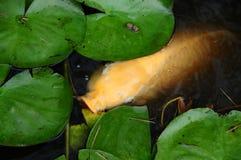 Wit Coy Fish In een Vijver met Lily Pads Stock Afbeelding