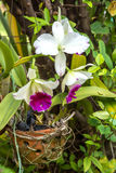 Wit - de purpere bloem van de cattleyaorchidee Royalty-vrije Stock Afbeeldingen