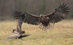Wit De steel verwijderd van Eagle Stock Foto's