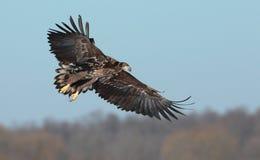 Wit De steel verwijderd van Eagle Stock Fotografie