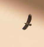Wit-de steel verwijderd van Eagle in de herfsthemel Stock Foto
