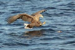 Wit-de steel verwijderd van Eagle die een vangst maken Stock Fotografie