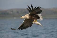 Wit-de steel verwijderd van Eagle met vangst royalty-vrije stock foto
