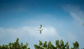 Wit-de steel verwijderd van tropicbird Royalty-vrije Stock Foto's