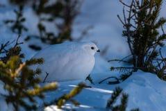 Wit-De steel verwijderde die Ptarmigan in de Sneeuw wordt gecamoufleerd stock fotografie