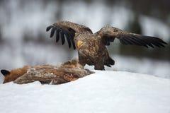 Wit-de steel verwijderde van adelaar die (Haliaeetus-albicilla) voedt royalty-vrije stock afbeeldingen