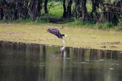 Wit-de steel verwijderde van adelaar die met vissen dichtbij rivier IJssel, Holland worstelen Stock Fotografie
