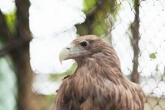 Wit-de steel verwijderde van adelaar in gevangenschap in een kooi stock afbeeldingen