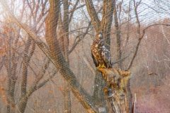 Wit-de steel verwijderde van adelaar, zittend op een tak en blikken rechtstreeks in de camera Stock Foto