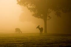 Wit-de steel verwijderde van herten op mistige ochtend Stock Afbeeldingen